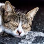 猫 寝不足